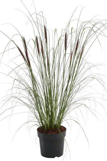 BCM Gräser »Lampenputzergras alopecuroides 'Viridescen'« Spar-Set, Lieferhöhe ca. 60 cm, 2 Pflanzen
