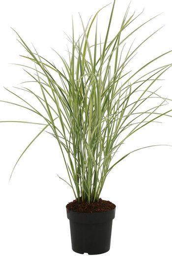 BCM Gräser »Chinaschilf sinensis 'Variegatus'« Spar-Set, Lieferhöhe ca. 60 cm, 2 Pflanzen