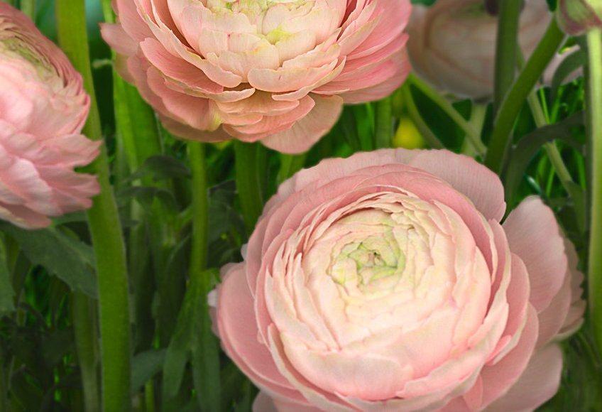 Fototapete, Komar, »Gentle Rose«, 368/254 cm