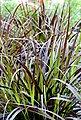BCM Gräser »Lampenputzergras Mix (3 Sorten)« Spar-Set, Lieferhöhe ca. 40 cm, 3 Pflanzen, Bild 4