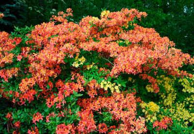 BCM Hecken »Rhododendron Azalee Gibraltar« Set