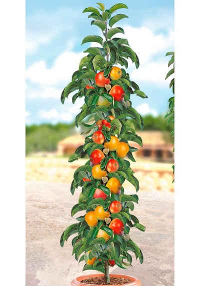 BCM Obstpflanze »Säulenobst Apfel Ballerina«