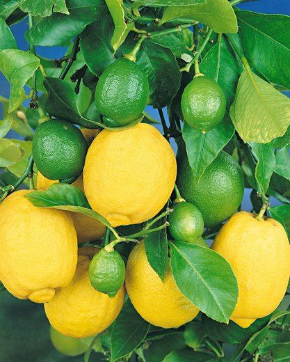 Zitrusbaum »Zitronen-Stämmchen«