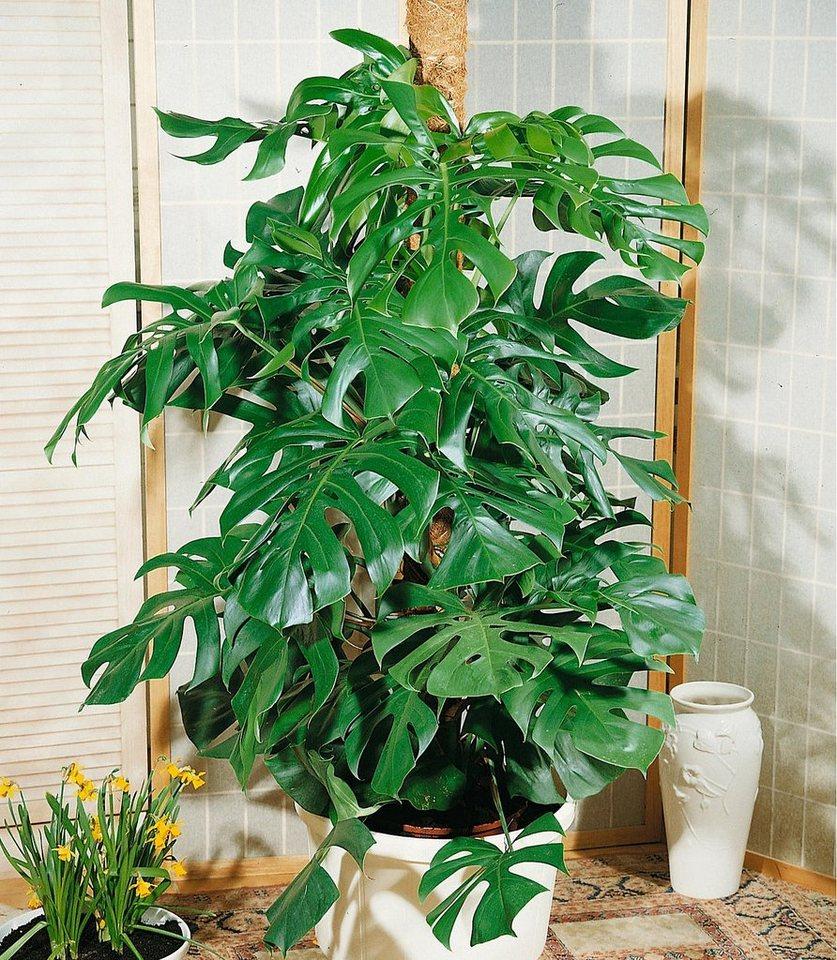 Zimmerpflanze »Fensterblatt« in grün
