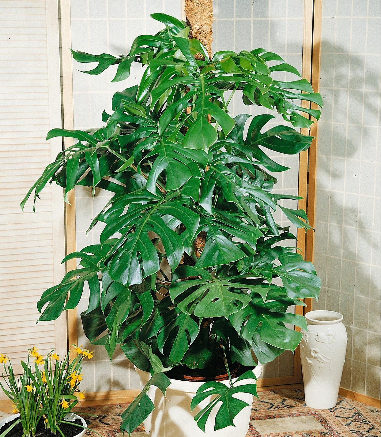 Zimmerpflanze »Fensterblatt«