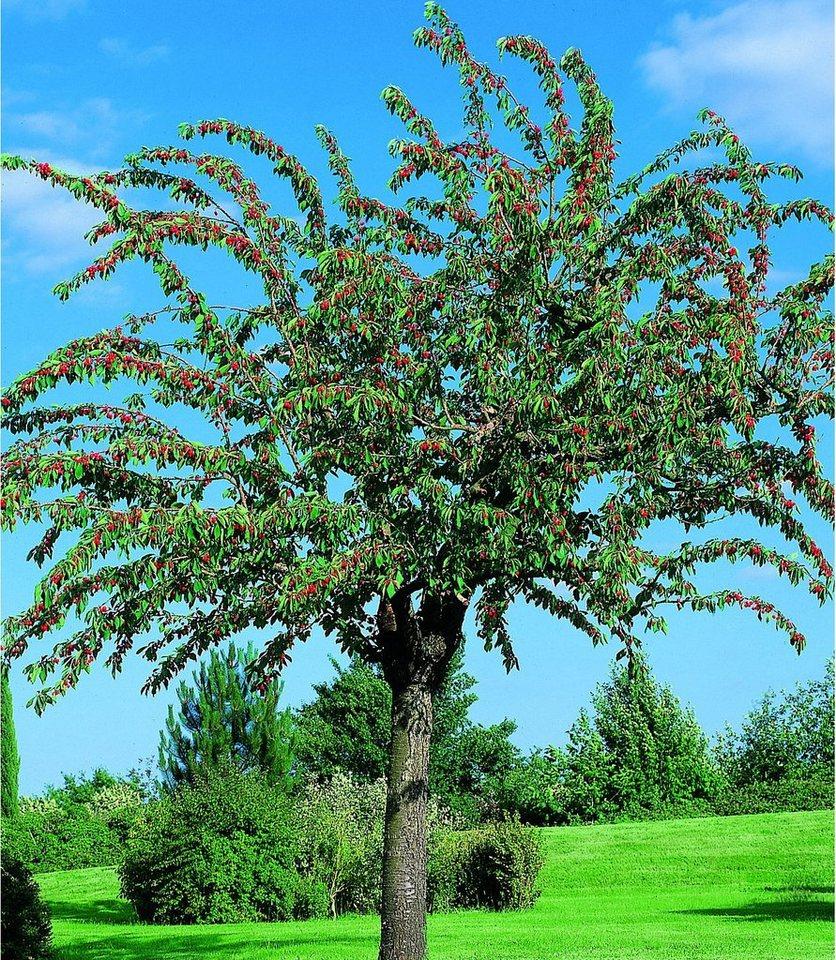 Obstbaum »Süßkirsche Schneiders Späte Knorpel« in rosa