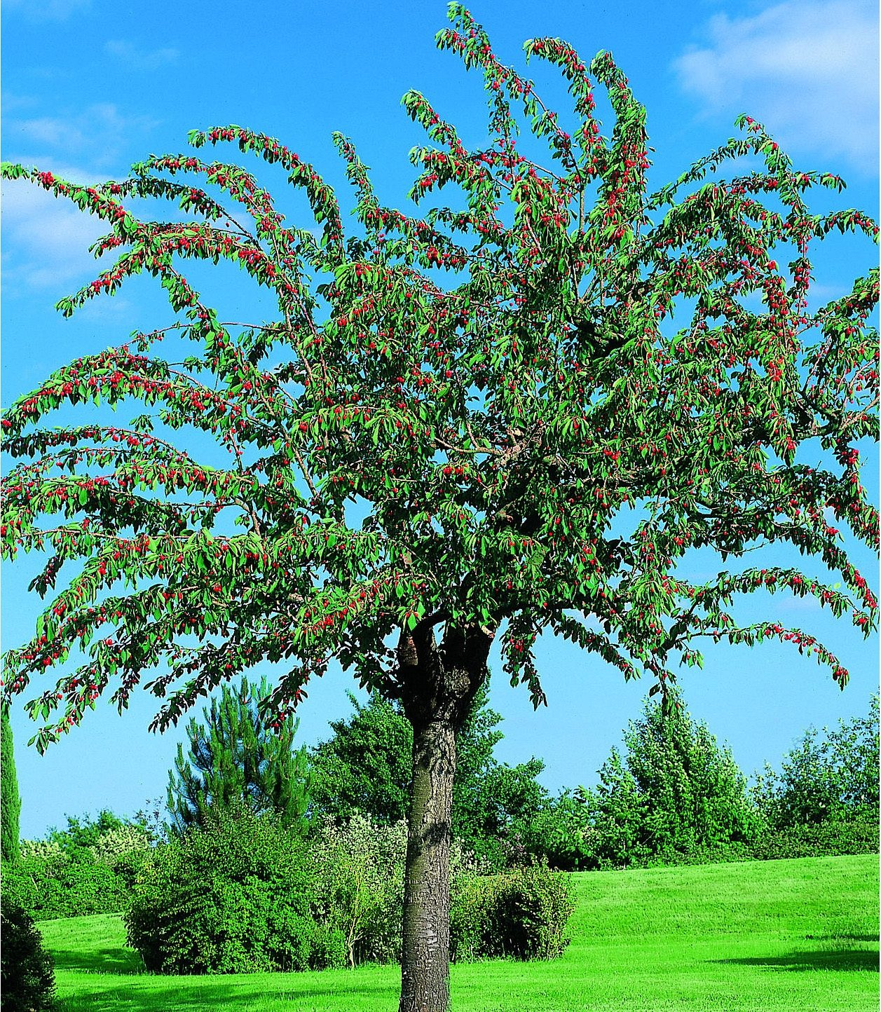 Obstbaum »Süßkirsche Schneiders Späte Knorpel«