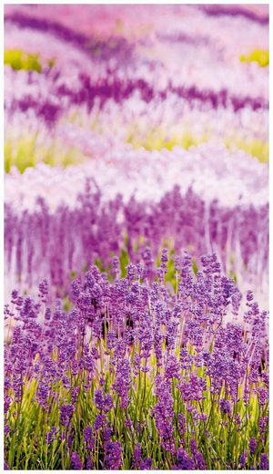 Bodenmeister Fototapete »Lavendel Provence lila«