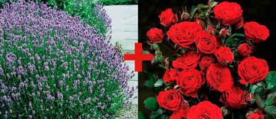 BCM Beetpflanze »Rose Europeana & Lavendel« Set