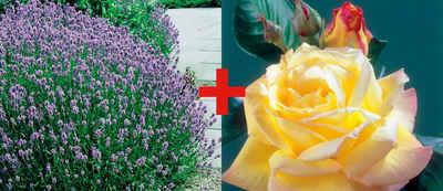 BCM Beetpflanze »Rose Rose Peace & Lavendel« Set
