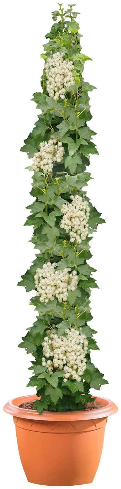 BCM Obstpflanze »Säulenobst Weiße Johannisbeere«, 50 cm Lieferhöhe