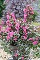 BCM Gehölze »Weigela 'Minor Black' ®«, Lieferhöhe: ca. 40 cm, 1 Pflanze, Bild 1