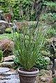 BCM Gräser »Lampenputzergras alopecuroides 'Viridescen'« Spar-Set, Lieferhöhe ca. 40 cm, 3 Pflanzen, Bild 2