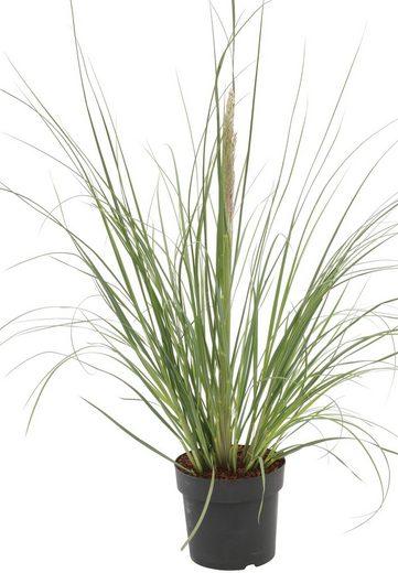 BCM Gräser »Pampasgras selloana 'Evita' ®« Spar-Set, Lieferhöhe ca. 60 cm, 2 Pflanzen