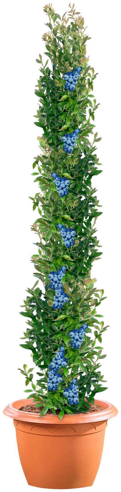 BCM Obstpflanze »Säulenobst Heidelbeere«, 50 cm Lieferhöhe