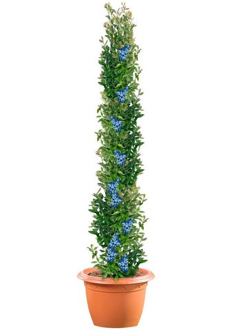 BCM Obstpflanze »Säulenobst Heidelbeere« 5...