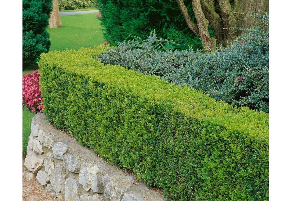 Set: Gehölz »Buchsbaum-Set« in grün