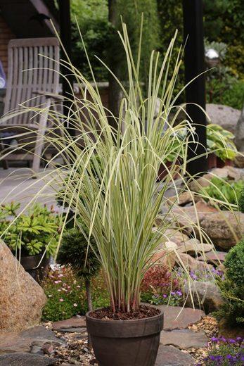 BCM Gräser »Pampasgras selloana mix (2 Sorten)« Spar-Set, Lieferhöhe ca. 60 cm, 2 Pflanzen