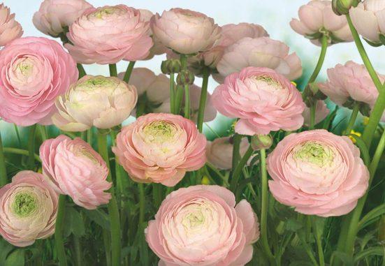 KOMAR Fototapete »Gentle Rosé«, 8-teilig