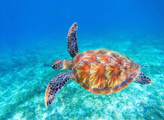 Fototapete »Big Green Sea Turtle«, glatt