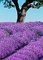 Fototapete »Provence«, 4-teilig, 183x254 cm, Bild 3