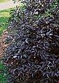 Duftholunder »Black Beauty®« (H: 60 cm), Bild 1