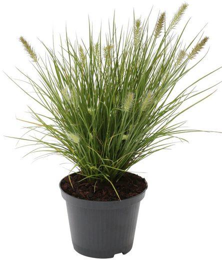 BCM Gräser »Lampenputzergras alopecuroides 'Little Bunny'« Spar-Set, Lieferhöhe ca. 40 cm, 3 Pflanzen