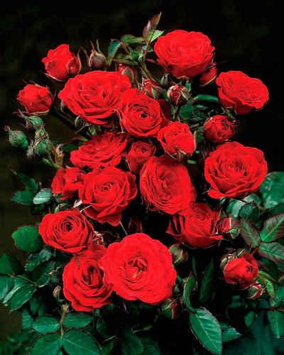 BCM Beetpflanze »Rose Europeana« Set