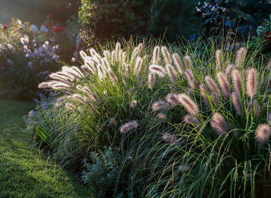 BCM Gräser »Lampenputzergras alopecuroides 'Pennstripe'« Spar-Set, Lieferhöhe ca. 40 cm, 2 Pflanzen