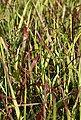 BCM Gräser »Rutenhirse virgatum 'Cheyenne Sky'« Spar-Set, Lieferhöhe ca. 40 cm, 3 Pflanzen, Bild 2