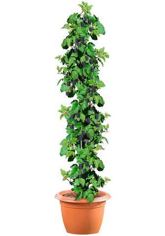 BCM Obstpflanze »Brombeere Black Satin« 40...