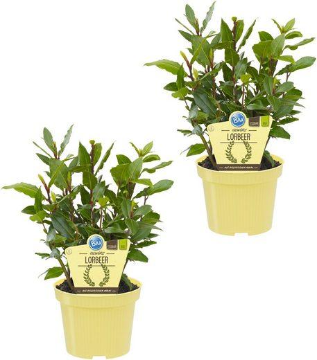 DOMINIK Zimmerpflanze »Gewürzlorbeer«, Höhe: 15 cm, 2 Pflanzen