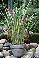 BCM Gräser »Blutgras cylindrica 'Red Baron'«, Lieferhöhe ca. 60 cm, 1 Pflanze, Bild 2
