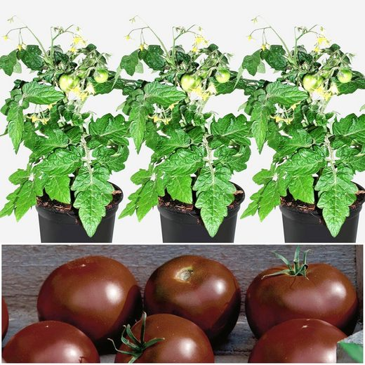 VOLMARY Tomate »Schokolade«, 3 Pflanzen