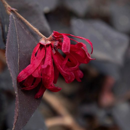 BCM Kletterpflanze »Riemenblüte 'Black Pearl' ®«, Lieferhöhe ca. 80 cm, 1 Pflanze