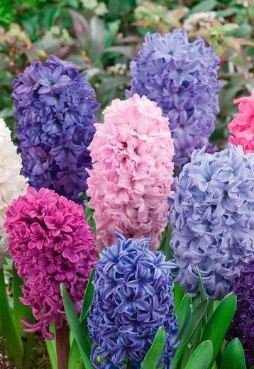 Blumenzwiebel »Hyazinthen«, 18 Stück, 2 Farben