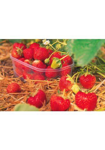 BCM Obstpflanze »Erdbeere Senga Sengana«