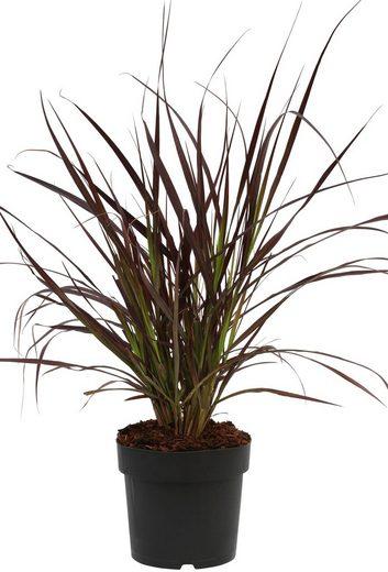 BCM Gräser »Lampenputzergras x advena 'Rubrum'« Spar-Set, Lieferhöhe ca. 40 cm, 2 Pflanzen