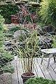 BCM Gräser »Chinaschilf sinensis 'Malepartus'«, Lieferhöhe ca. 60 cm, 1 Pflanze, Bild 2