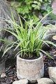 BCM Gräser »Segge brunnea 'Camara' ®« Spar-Set, Lieferhöhe: ca. 30 cm, 4 Pflanzen, Bild 4