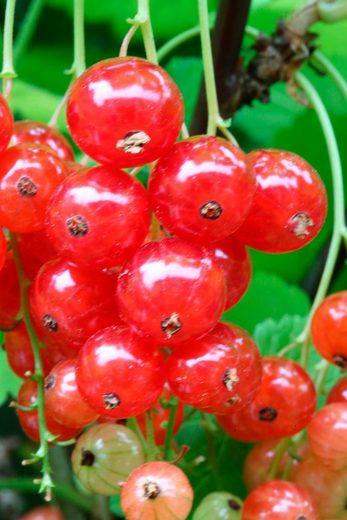 BCM Säulenobst »Rote Johannisbeere Traubenwunder«, Höhe: 50 cm, 2 Pflanzen