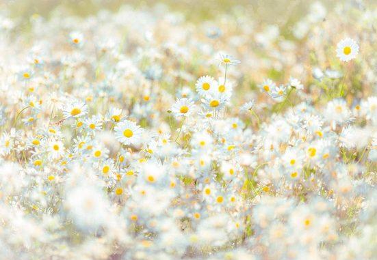 Komar Fototapete »Daisies«, glatt, bedruckt, Meer, Wald, (Set), ausgezeichnet lichtbeständig