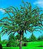 BCM Obstbaum »Mirabelle de Nancy«, 100 cm Lieferhöhe, Bild 2