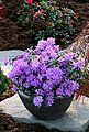 BCM Hecken »Rhododendron Luisella«, Höhe: 20 cm, 1 Pflanze, Bild 2