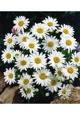 BCM Staude »Margerite Chrysanthemen Busch«...