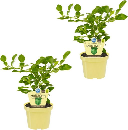 DOMINIK Zimmerpflanze »Kaffir-Limetten«, Höhe: 15 cm, 2 Pflanzen