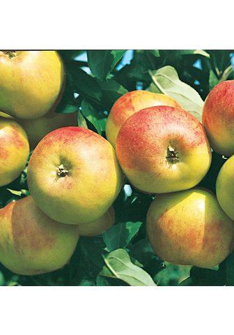 BCM Obstbaum »Apfel Gravenstein«