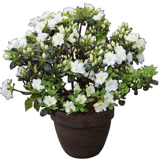 Rhododendron »Japanische Azalee Schneeperle«
