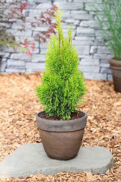 BCM Hecken »Lebensbaum Smaragd«, Höhe: 60-80 cm, 10 Pflanzen