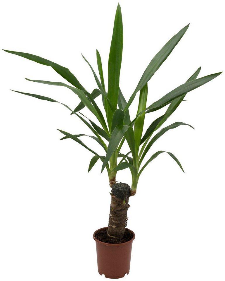 DOMINIK Zimmerpflanze »Yucca-Palme«, Höhe: 30 cm, 1 Pflanze online kaufen    OTTO